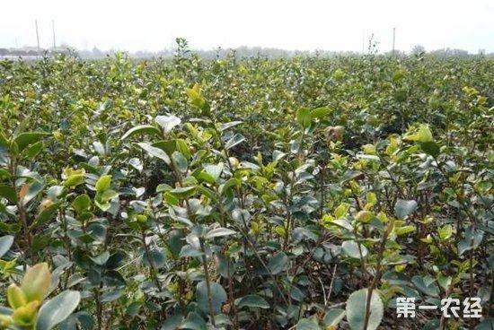 油茶苗栽培技术_油茶树种植技术 - 种植技术 - 第一农经网