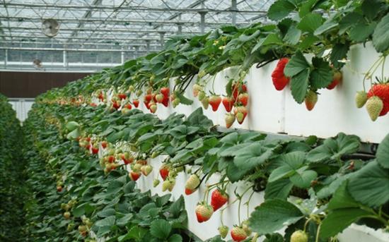 无土栽培草莓的种植技术