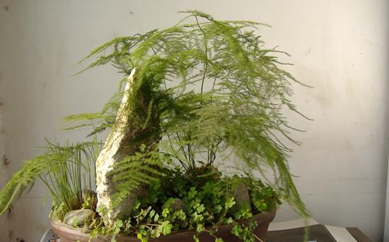 文竹怎么繁殖?文竹的繁殖方法