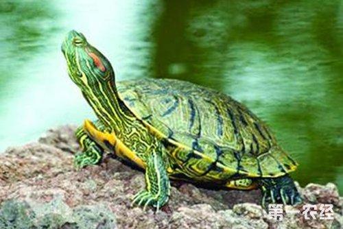 巴西龟饲养 巴西龟的饲养方法图片
