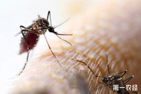 """""""      据介绍,蚊子属于节肢动物门昆虫纲双翅目蚊科,迄今全世界已"""