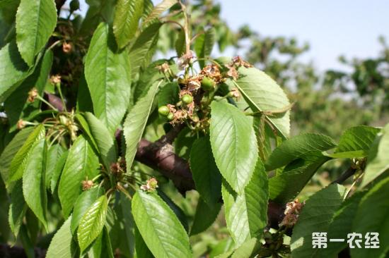 樱桃树修剪方法 不同季节采用不同修剪方法图片