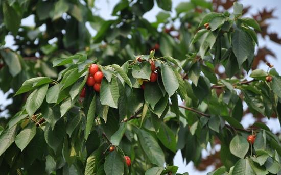 樱桃树施肥技术