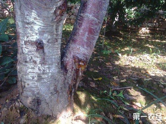 樱桃树种植:樱桃树流胶怎么办?