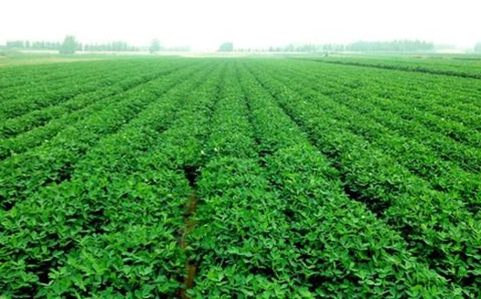 早春花生高产种植密度与方式技术