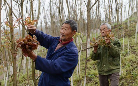 香椿树常见病害的防治方法