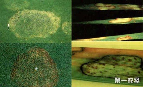 草坪,草坪种植,草坪病害,草坪褐斑病,草坪褐斑病的症状