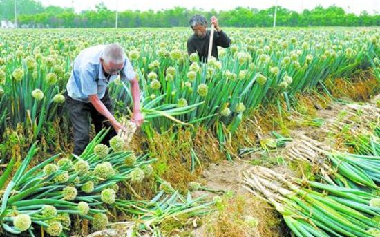 种植大葱怎么施肥能高产?大葱平衡施肥技术要