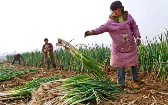 大葱种植:如何防治大葱减产?
