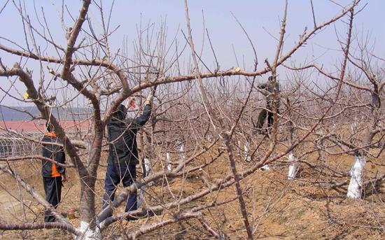 樱桃种植:樱桃园土壤管护要点