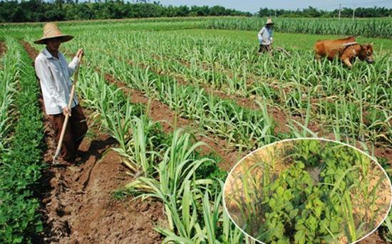 春花生和甘蔗套种技术