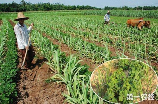 花生种植,花生和甘蔗套种,春花生和甘蔗套种技术,甘蔗套种技术