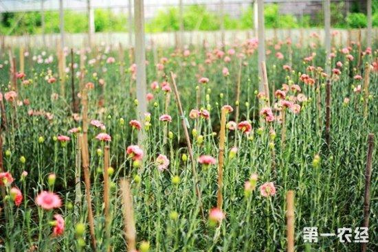 康乃馨,康乃馨种植方法,康乃馨病常见病虫害,康乃馨病常见病虫害的防治方法