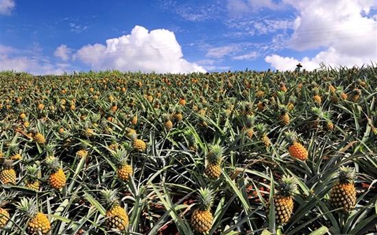 菠萝常见病虫害的防治方法