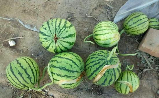 西瓜裂瓜怎么办?如何有效预防西瓜裂瓜?