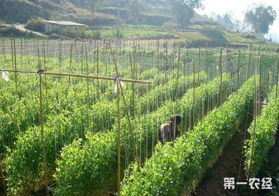 2016年豌豆生产技术指导意见