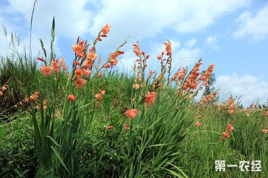 【小编总结】      唐菖蒲又名剑兰,荸荠莲,是一种多年生的草本