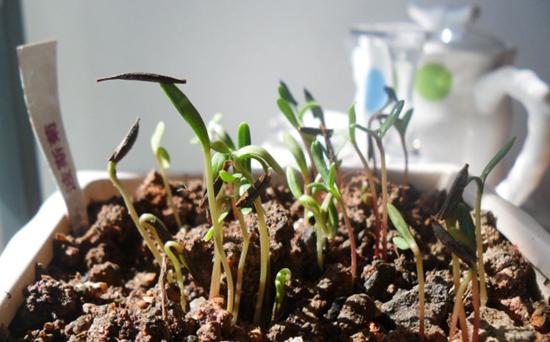 波斯菊的播种季节是什么时候?波斯菊的种植方
