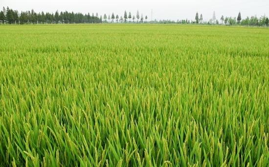 夏季水稻高产栽培技术