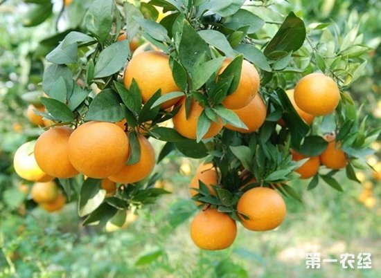 湖南洪江特产:黔阳脐橙