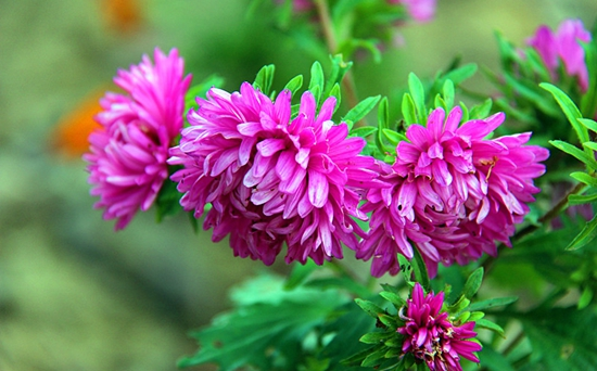 翠菊常见病害的防治方法