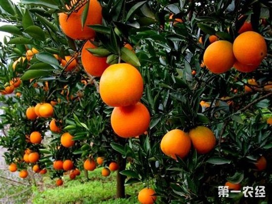 """晚熟脐橙成秭归""""致富""""新增长点"""