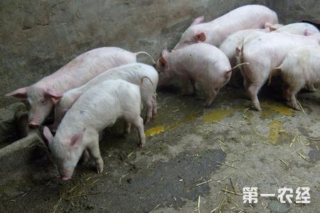 春季生猪寄生虫腹泻防控方法图片