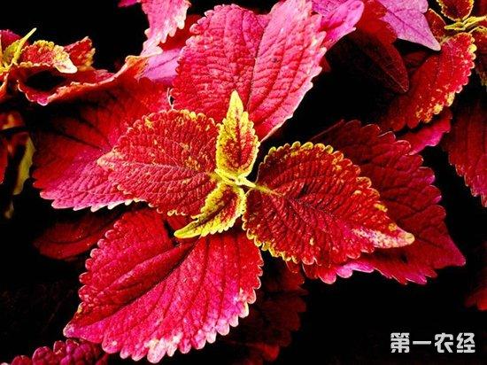 红色花簇手绘图