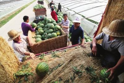山东泗水:大棚西瓜陆续成熟上市销往北上