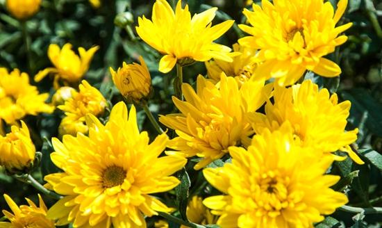菊花的繁殖方法有哪些?