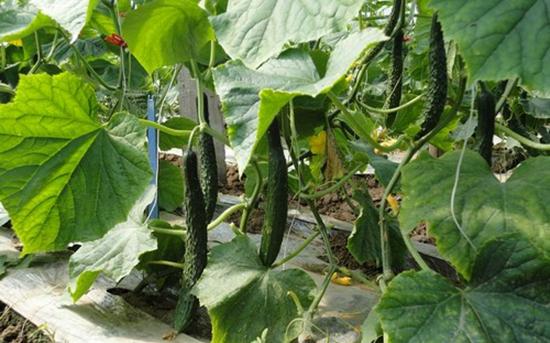 如何减少黄瓜茎蔓损伤?
