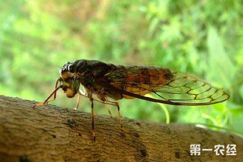 蝉是益虫还是害虫?知了对植物的危害有哪些?
