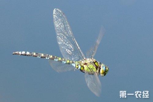 雌蜻蜓产卵到水里面,多数是在飞翔时用尾部碰水面
