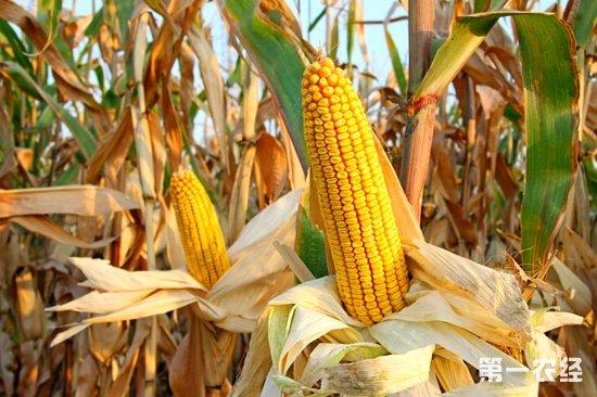 美国研究发现玉米开放染色质决定多样性特征
