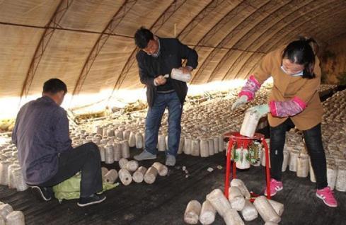 内蒙古翁牛特旗农牧业局:引进黑木耳菌棒进行示范生产