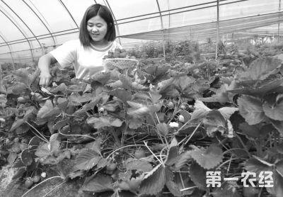 """南阳市卧龙区:草莓成""""致富果' 亩收万元"""