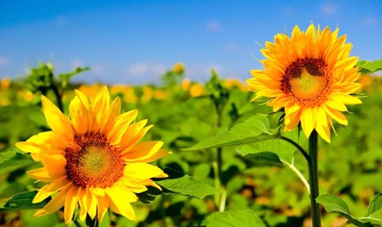 向日葵配方施肥技术