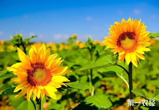 向日葵,向日葵种植,向日葵施肥,向日葵配方施肥技术