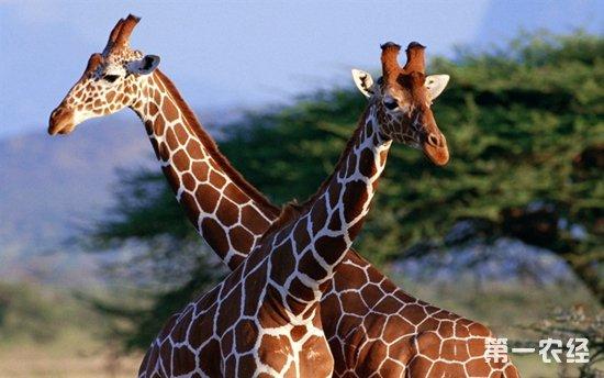 对长颈鹿科动物进行测序,这尚属首次.