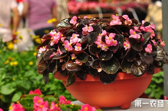 四季海棠种子图片_四季海棠花怎样繁殖?四季海棠的繁殖方法 - 种植技术 - 第一农经网