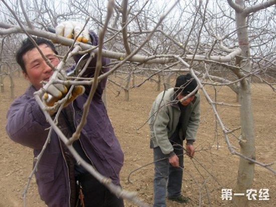 苹果幼树整形修剪技巧