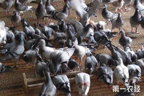 【專家解答】在設計鴿子養殖大棚時,不僅要考慮鴿舍的空氣新鮮