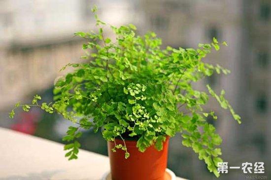 铁线蕨,铁线蕨养殖,铁线蕨怎么养,铁线蕨的养殖方法