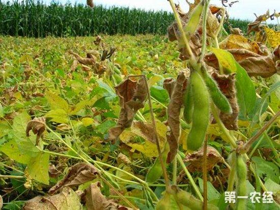 大豆,大豆种植,大豆中后期,大豆中后期管理技术