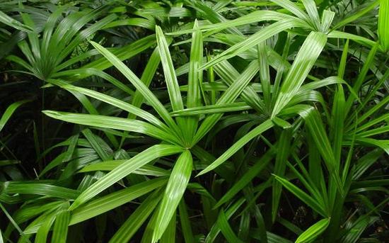 棕竹叶尖枯黄是什么原因?