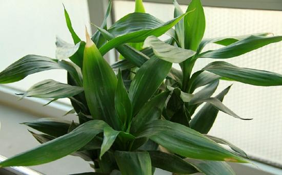 富贵竹吸收甲醛吗?富贵竹可以放在卧室吗?