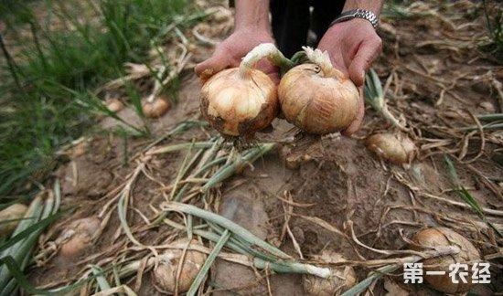 洋葱,洋葱种植,洋葱腐烂病,洋葱腐烂病的防治方法