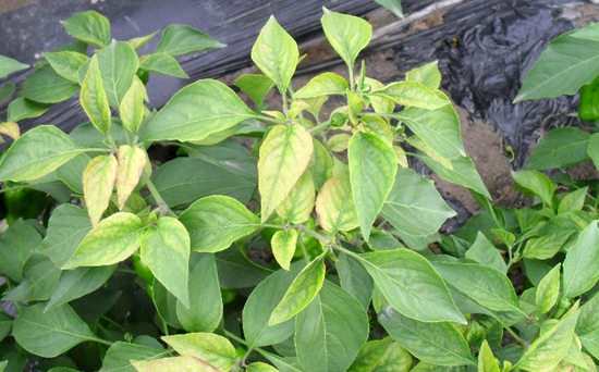 辣椒黄叶的原因及防治方法