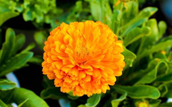金盏菊花繁叶茂的的养护方法