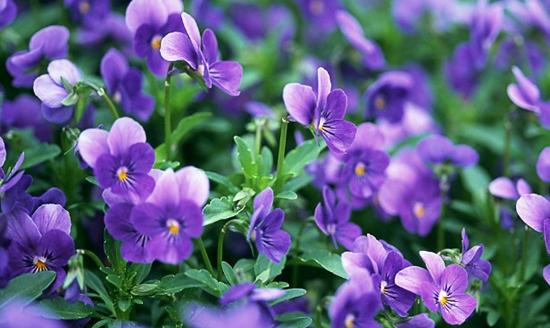 如何让紫罗兰四季开花?